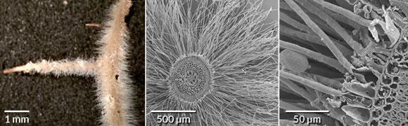 המבנה של  שורשי הצמחים בהגדלה גדולה במיקרוסקופ אלקטרונים (מימין), בינונית וקטנה | צילומים מתוך מאמר המחקר