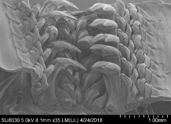 צילום מיקרוסקופ אלקטרונים סורק של שיניו הבוגרות של הכיטון | קרדיט: Northwestern University