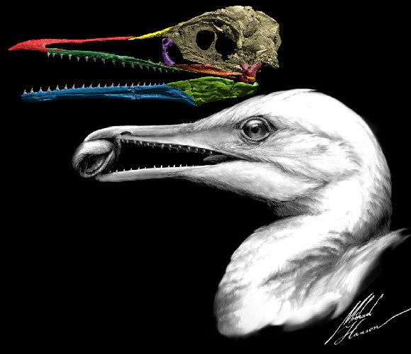 מאובן ואילוסטרציה של איכתיאורניס, עוף קדום מלפני כ-90 מיליוני שנה | Michael Hanson/Yale University