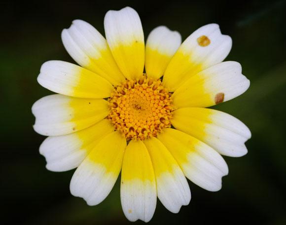 חרצית עטורה (Glebionis coronarium). מופע נדיר בצבעי צהוב-לבן. צילום: אבי דוילנסקי