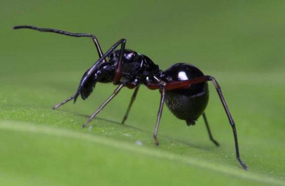 העכבישים יונקים מאמם כמעט עד גיל בגרות. נקבת הקופצן Toxeus magnus| צילום: CHEN Zhanqi, CHINESE ACADEMY OF SCIENCES