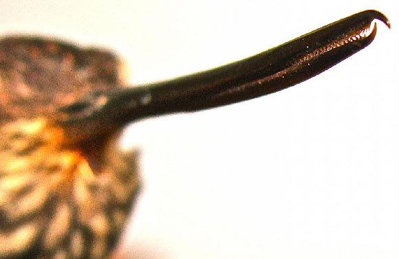 מקור של קוליברי מהמין Androdon aequatorialis | צילום: Kristiina Hurme