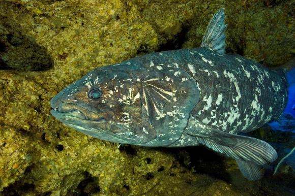 דג סיליקנת במים סמוך לדרום אפריקה | צילום: Laurent Ballista, Gombessa expeditions, Andromede Oceanology Ltd