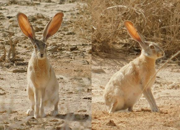 ארנבת מצויה | צילום: איגור ארמיאץ'-שטיינפרס