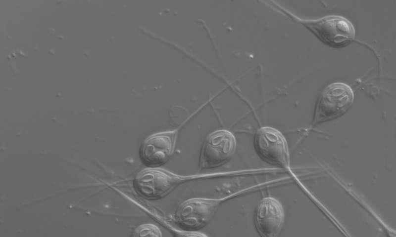 הטפיל דרך מיקרוסקופ אור,  Stephen Douglas Atkinson