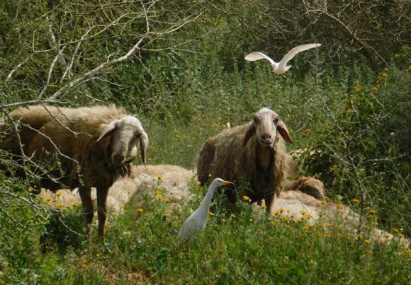 הכבשים מתחזקות את השמורה בלי פחד מטורפים, האנפיות לצדן | צילום: איגור ארמיאץ'-שטיינפרס