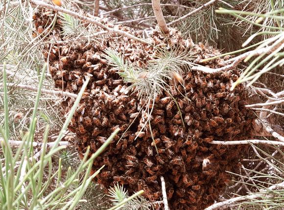 נחיל דבורים על עץ במכון דוידסון | צילום: איתי נבו