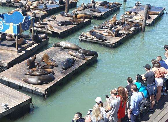 לא אורחים מצטיינים, אבל בהחלט מושכים תיירים. אריות ים ברציף 39 | צילום: יונת אשחר
