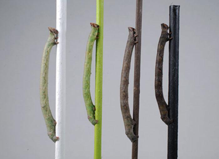 מתאימים צבעים בלי להיעזר בחוש הראייה. זחלים של עש הפלפל מתוך המחקר | צילום: Arjen van't Hof, University of Liverpoool