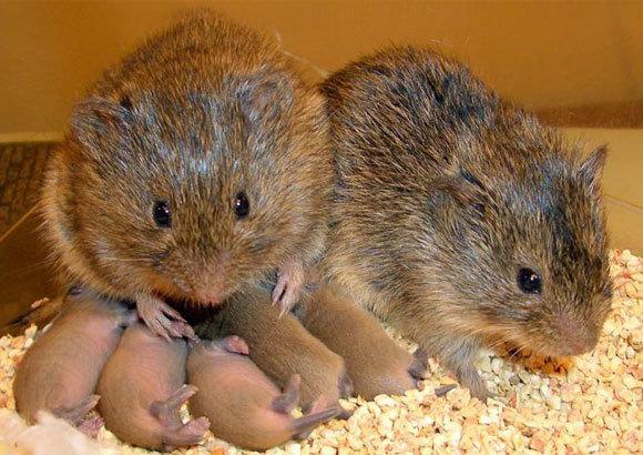 דוגמה לא נפוצה ליונקים מונוגמיים, בחיות נוחות מאוד למחקר. משפחה של נברני ערבה | צילום: Zoe Donaldson, CU Boulder