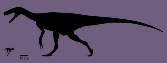 משמאל קונגונפון קלי, ומימין אחד הדינוזאורים המוקדמים,Herrerasaurus, באותו קנה מידה | Silhouettes from phylopic.org by Scott Hartman and AMNH/Frank Ippolito