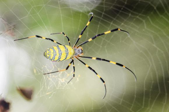 עכביש Nephila clavipes (ממשפחת הנפיליים) על רשת הקורים | מקור: מכון RIKEN