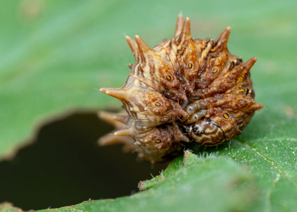 זחל של העש מודד קיפודי (Apochima flabellaria), מתכדרר ומבליט את קוציו, במצג הרתעה | צילום: ליאור קסטנברג