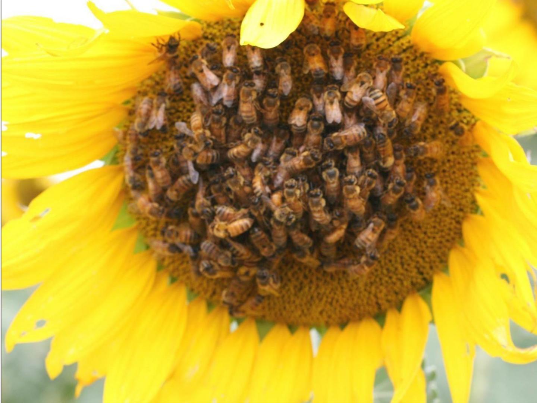 דבורים מאביקות חמנייה, באדיבות החוקרים, צילום: וולטר פרינה