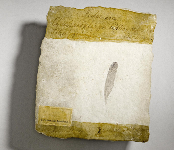 הנוצה המאובנת שהתגלתה בגרמניה ב-1861 | צילום: Museum fur Naturkunde