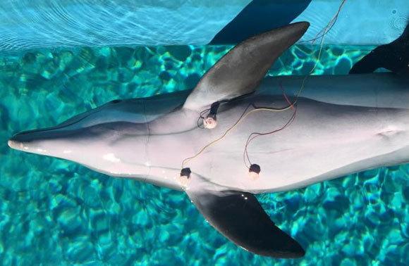 דולפין עם אלקטרודות שמודדות את קצב הלב | Mirage, Siegfried and Roy's Secret Garden and Dolphin Habitat