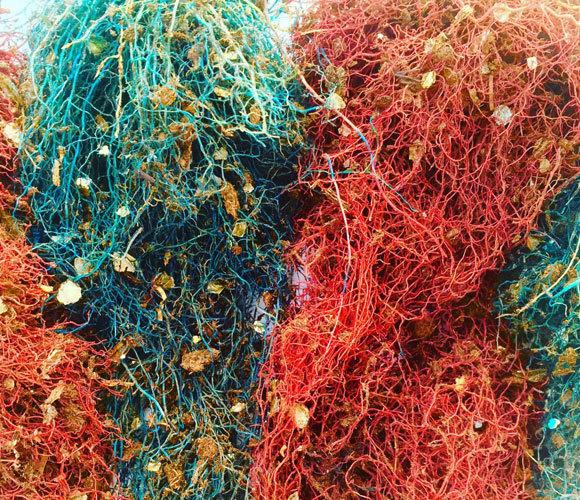 איך הצמחים משנים את צמיחת השורשים שלהם, כשהם נשתלים עשרה סנטימטר זה מזה? השורשים של שיחי הפלפל במחקר, צבועים בצבעים שונים | Ciro Cabal, Princeton University