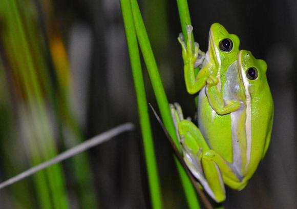 זוג צפרדעי עצים אמריקאיות בהזדווגות   Norman Lee