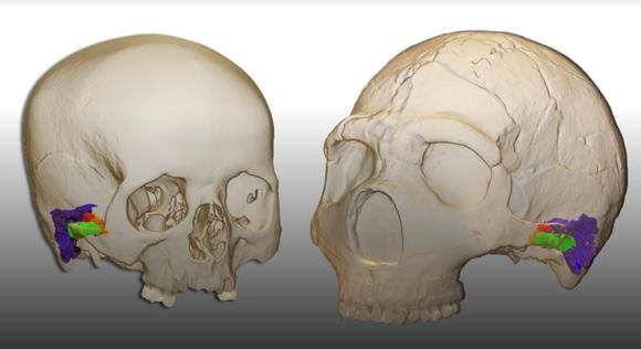 שחזור מבנה האוזן ועצמות השמע אצל ניאנדרטל (מימין) לעומת אדם מודרני | איור: Mercedes Conde-Valverde, BINGHAMTON UNIVERSITY