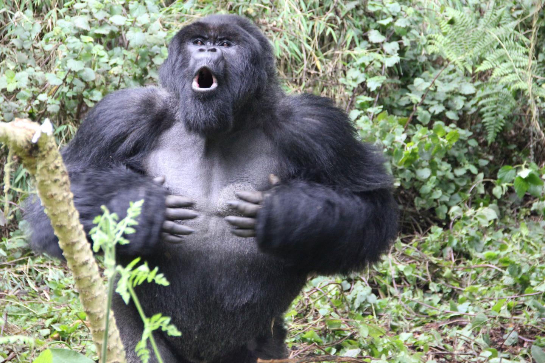 תיפוף חזה, קרדיט: Dian Fossey Gorilla Fund