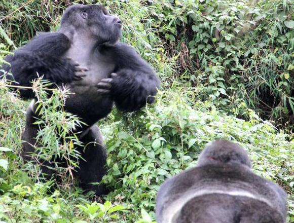 זכר גורילה מכה על חזהו מול זכר מקבוצה אחרת | Dian Fossey Gorilla Fund