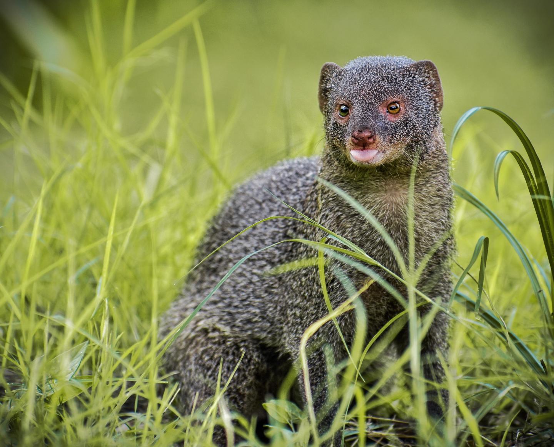 טורף ממשפחת הנמייתיים, שתרמה להכחדת הנחשים באיים. מקור: Omkar Vinchu from Pexels