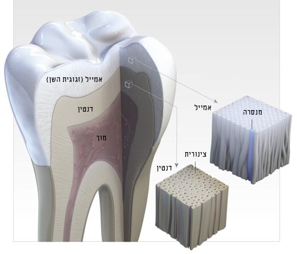 תרשים של מבנה השן