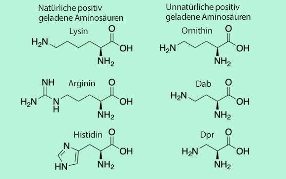 Die drei positiv geladenen natürlichen Aminosäuren im Vergleich zu den drei unnatürlichen Aminosäuren. Graph: Daniel Seidmann