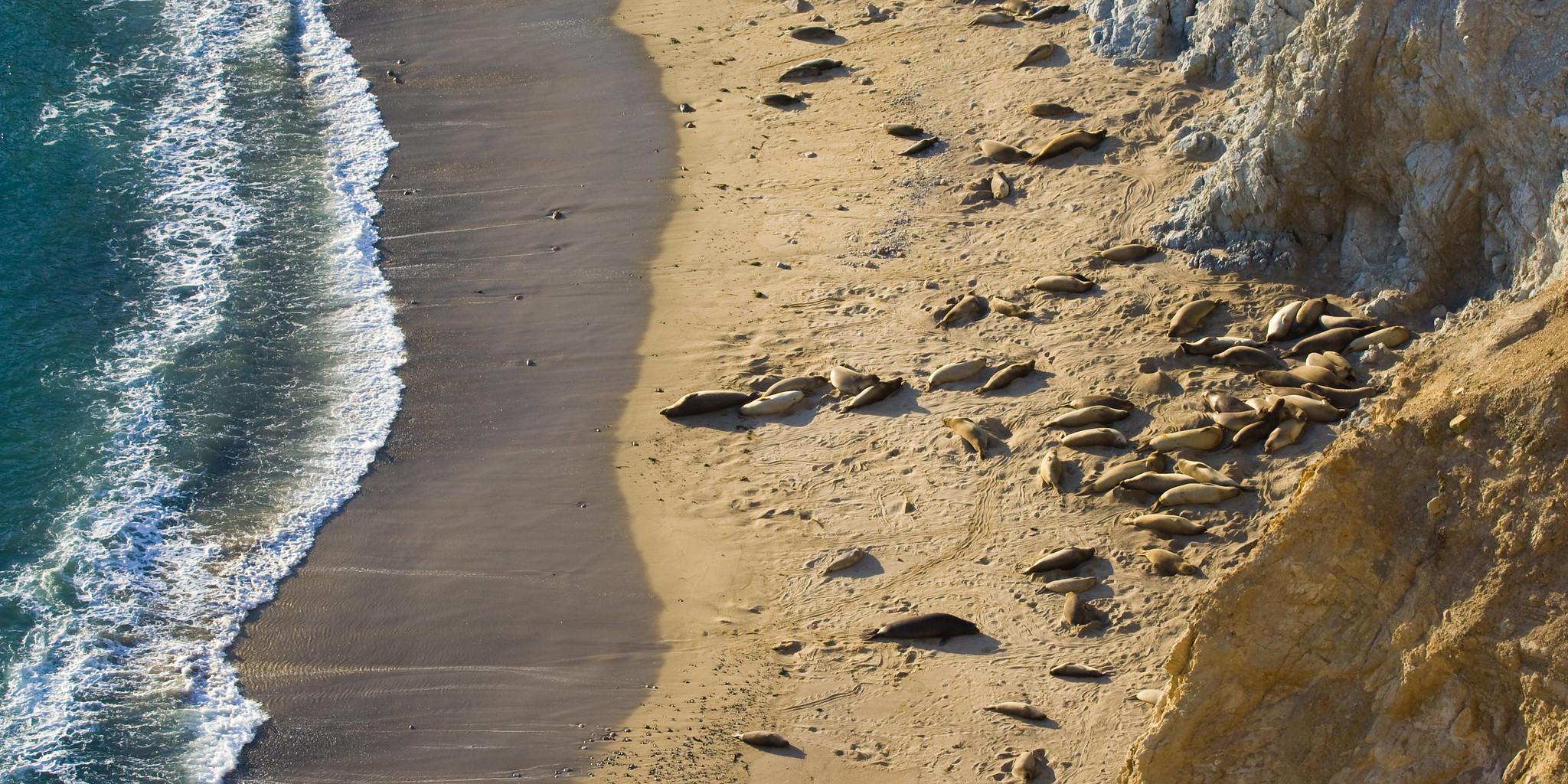 איש לא יודע מה יהיה בשנה הבאה. פילי ים בחוף פוינט רייס | צילום: Ken-ichi Ueda, Flickr