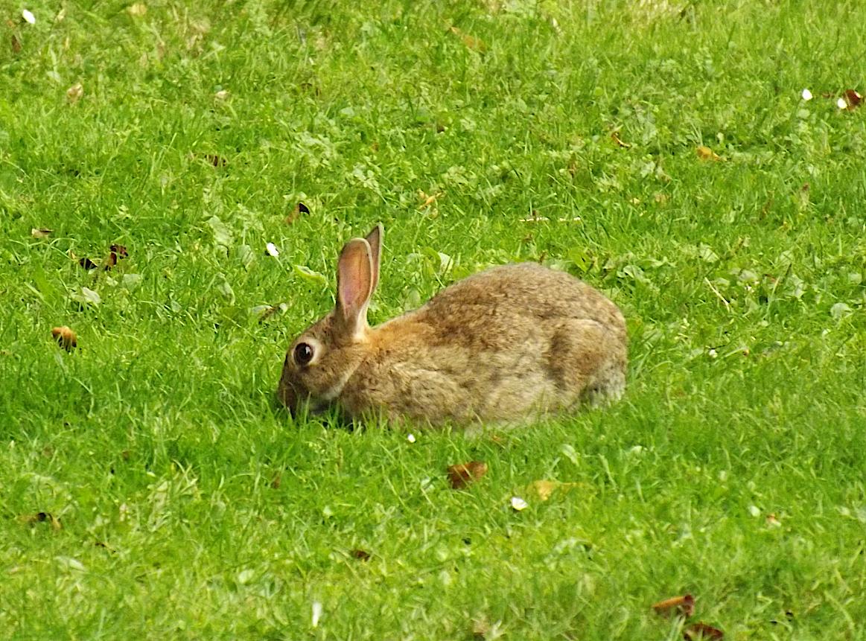 ארנבון מצוי בוגר בבריטניה | צילום: איגור ארמיאץ'-שטיינפרס