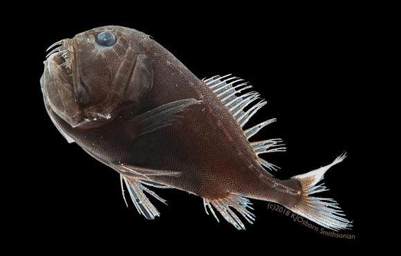 אחד הדגים האולטרה-שחורים, מהמין Anoplogaster cornuta | קרדיט: Karen Osborn, Smithsonian