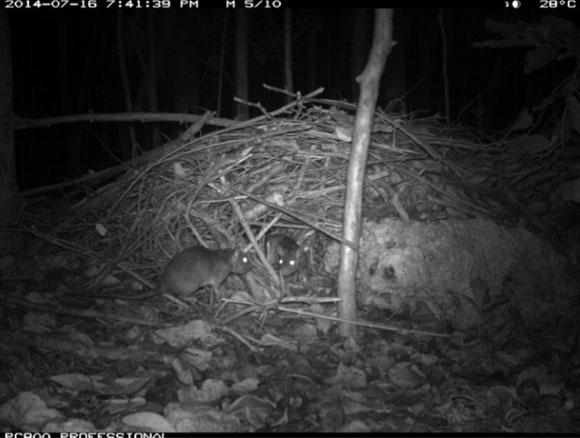 צילום לילה: חולדות סוחרות ליד הקן שלהן