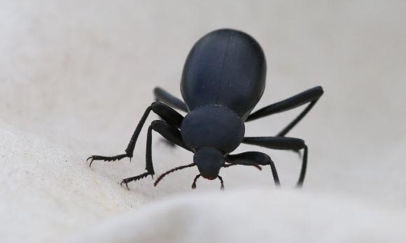 שחרורית בלפס (.Blaps sp), חיפושית גדולה ולא בררנית במזונה | צילום: אבי דוילנסקי