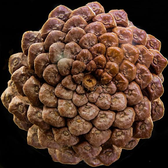 הקשקשים באצטרובל מסודרים בספירלות מנוגדות. מספרי הספירלות בשני הכיוונים הם מספרים עוקבים בסדרת פיבונצ'י  | flickr, Monteregina (Nicole)