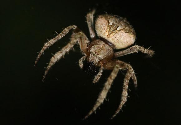 עכבישה גלגלית (Neoscona subfusca) פורסת את רשת הציד | צילום: אבי דוילנסקי