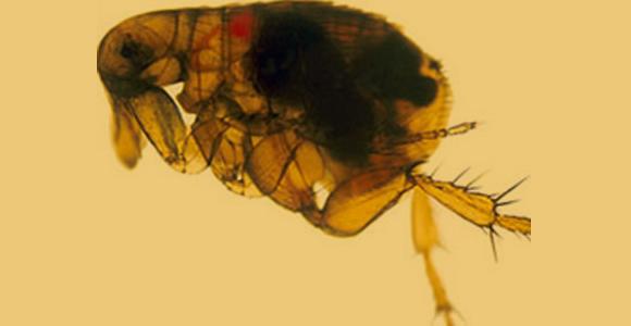 פרעוש נגוע בחיידקי דֶבֶר, הנראים כגוש שחור בתוכו | מקור: ויקיפדיה, NIAID, נחלת הכלל
