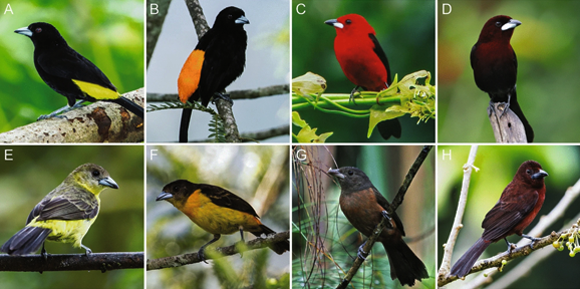 השוואה בין הזכרים (בשורה העליונה) והנקבות של כמה מיני טנגריים | מתוך המאמר McCoy et al., Scientific Reports 2021