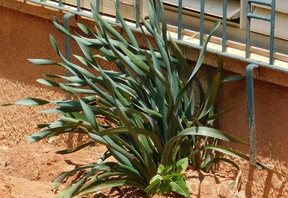 חבצלת החוף (Pancratium maritimum) היא אחד הצמחים המוגנים הנאספים ביותר, והיא שורדת יפה בגינון - אך מקומה בחוף | איגור ארמיאץ' שטיינפרס