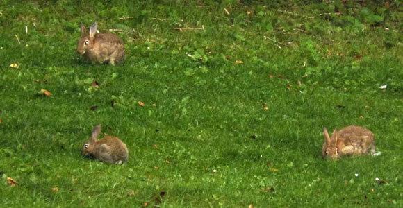 ארנבונים אירופיים במדשאה בבריטניה |  צילום: איגור ארמיאץ'-שטיינפרס