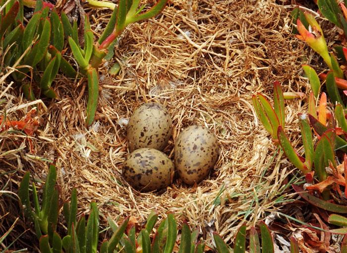 תקשורת באמצעות רעידות עוד לפני הבקיעה. ביצים של שחף צהוב רגל בקן | צילום: Duarte Frade/iNaturalist