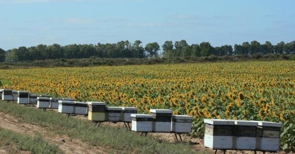 כוורות הדבורים בשולי שדה חמניות בניסוי | צילום: Walter Farina, Universidad de Buenos Aires