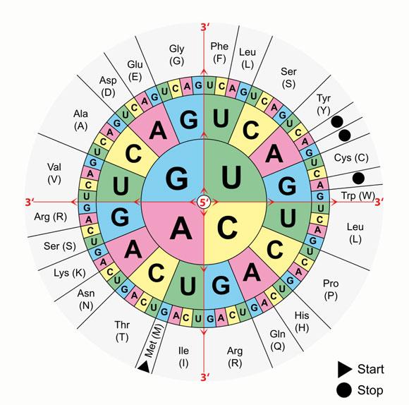 טבלת הצופן הגנטי - איזה קודון מסמל איזו חומצה אמינית | ויקיפדיה, Mouagip
