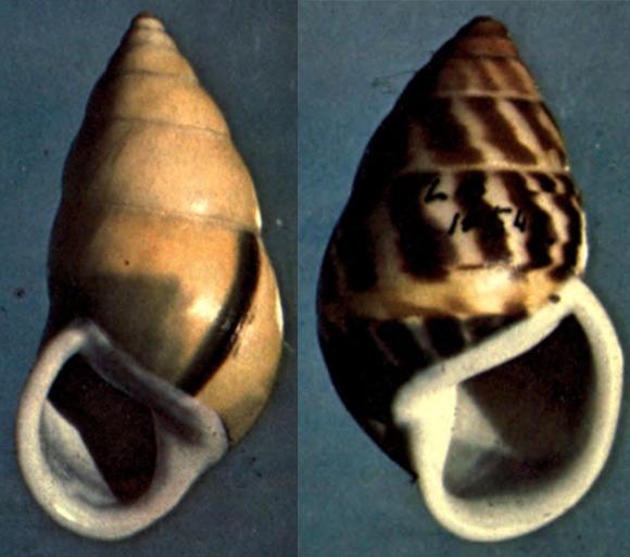 גם אצל החלזונות יש רוב מוחץ לימין - כ-90 אחוז מהמינים הם בעלי קונכיה ימנית, לא שמאלית | צילומים: ויקיפדיה, נחלת הכלל