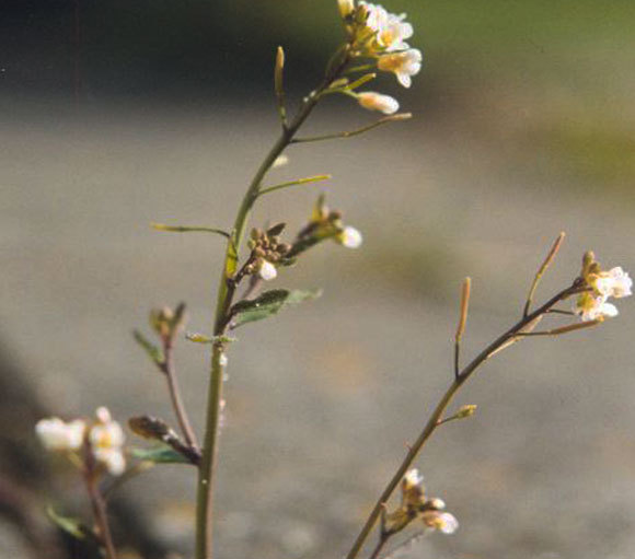 החוקרים החדירו גנים של סויה לצמח מודל. תודרנית לבנה | צילום: Marco Roepers, ויקיפדיה