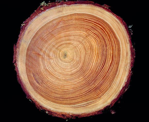 גזע עץ כרות מציג את טבעות הגדילה | Maurice Nimmo, SPL