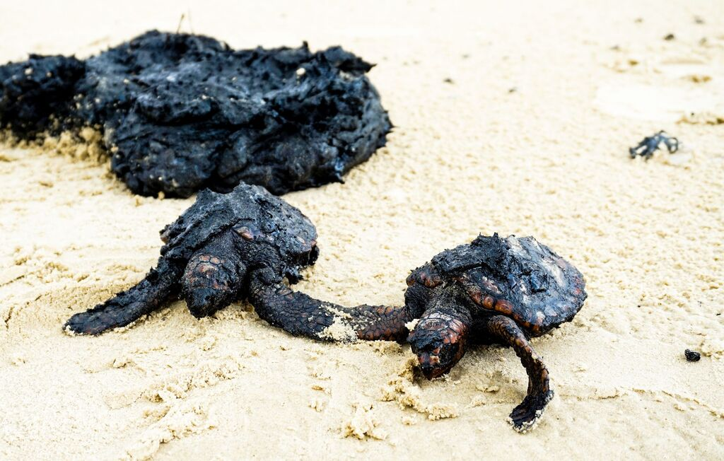 הנזק המיידי. צבי ים שמתו לאחר שכוסו בזפת בחוף דור | צילום: יוסף סגל, עמותת סיירת החוף