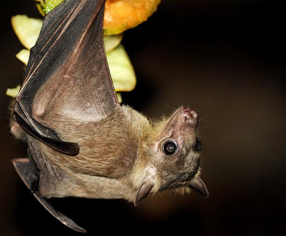 עטלף פירות מצוי | צילום: VICTOR HABBICK VISIONS / SCIENCE PHOTO LIBRARY