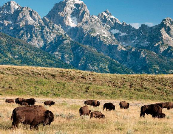 עדר ביזונים בפארק הלאומי גרנד טיטון, ארצות הברית | Bob Gibbons, SPL