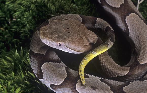 נחש מוקסין הנחושת (Agkistrodon contortrix), אחד המינים בהם התגלתה רביית בתולין | Jim Merli, Science Photo Library