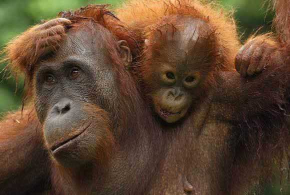 אמא אורנגאוטן עם תינוקה | צילום: THOMAS MARENT / VISUALS UNLIMITED, INC. / SCIENCE PHOTO LIBRARY